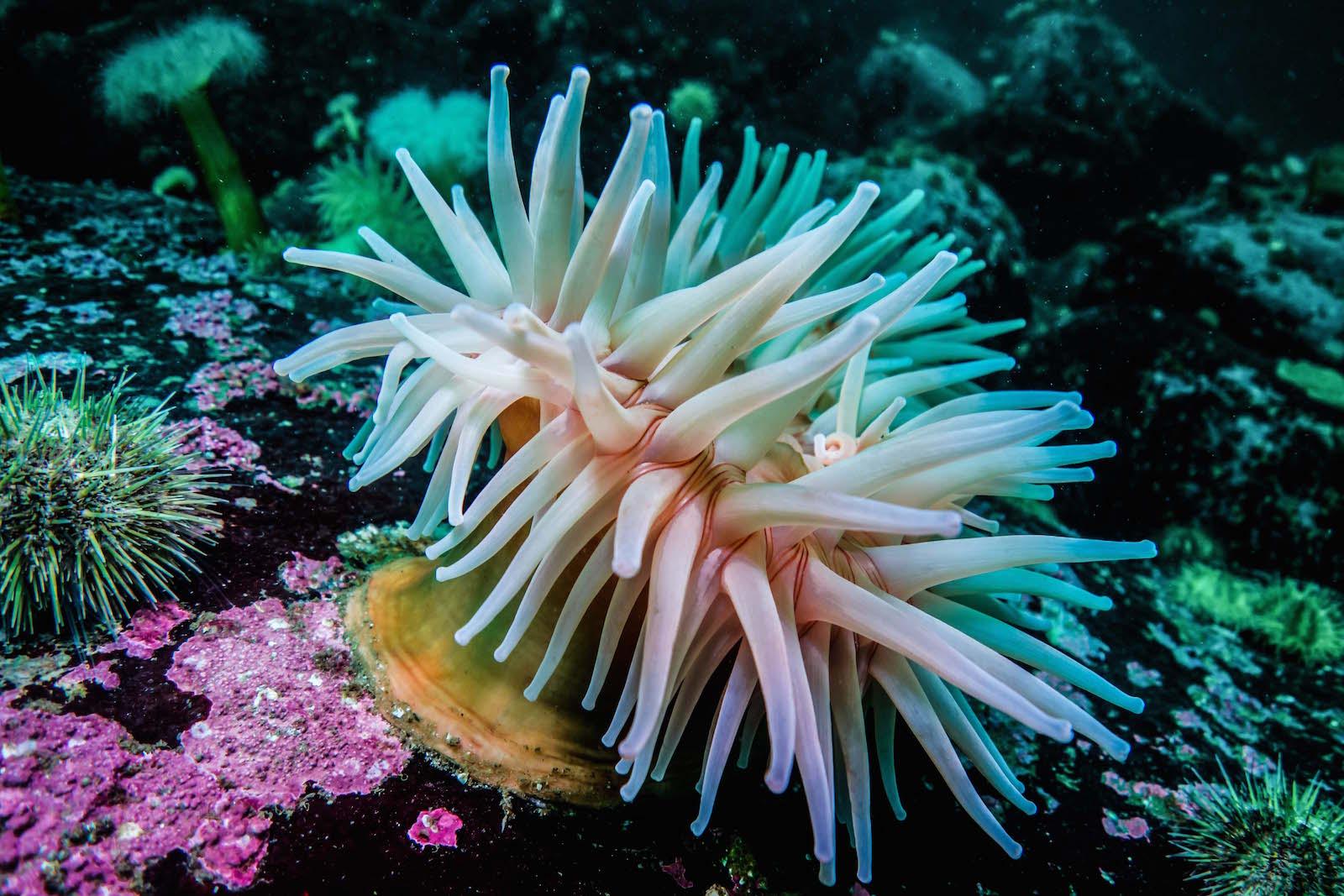 anemone rouge du nord saint-laurent