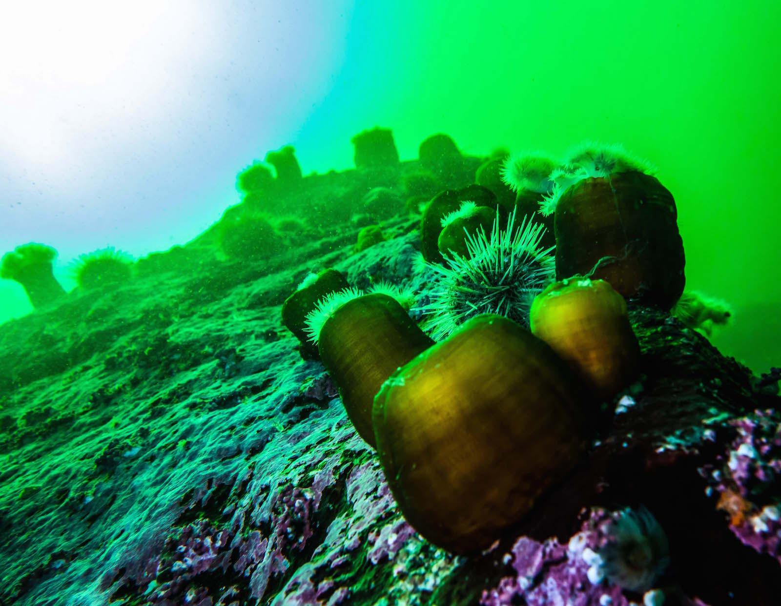 anemone plumeuse saint-laurent