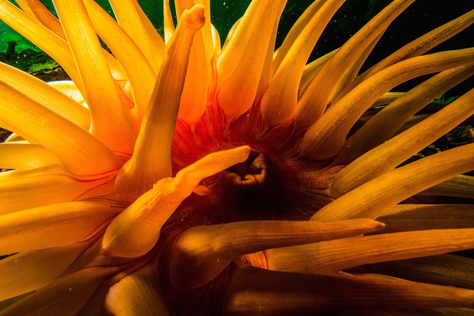 bouche anemone rouge saint-laurent