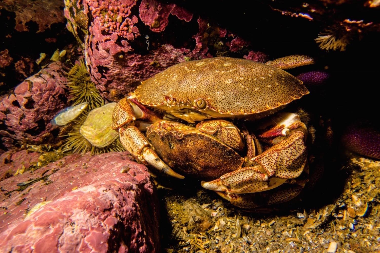 crabe commun du fleuve saint laurent