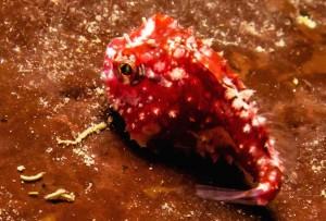 petite poule de mer rouge fleuve saint-laurent
