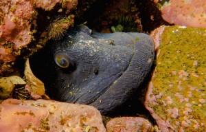poisson-loquette-fleuve-saint-laurent