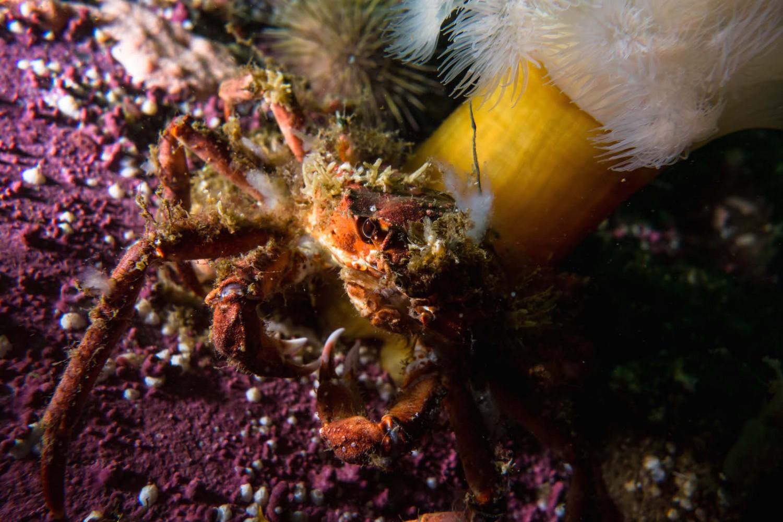 crabe araignée camouflé st-laurent