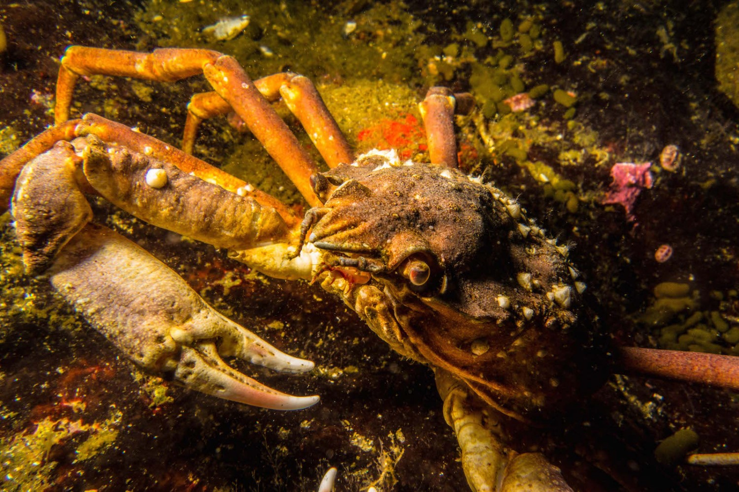 crabe araignee saint-laurent quebec