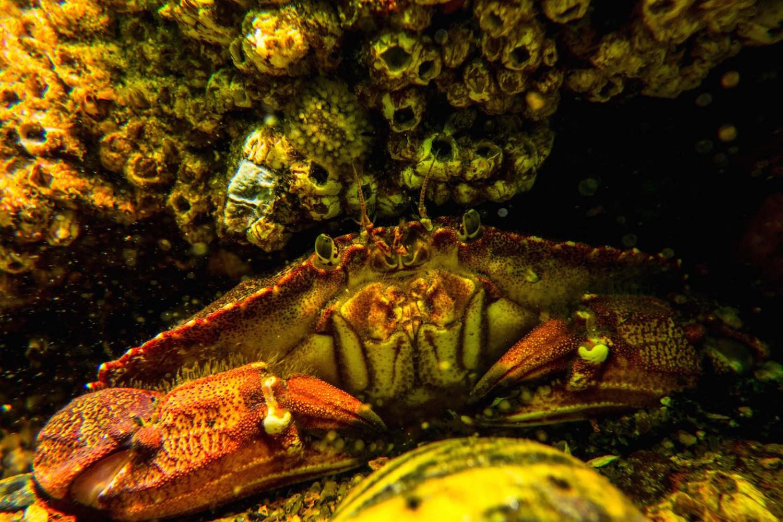 crabe commun St-Laurent
