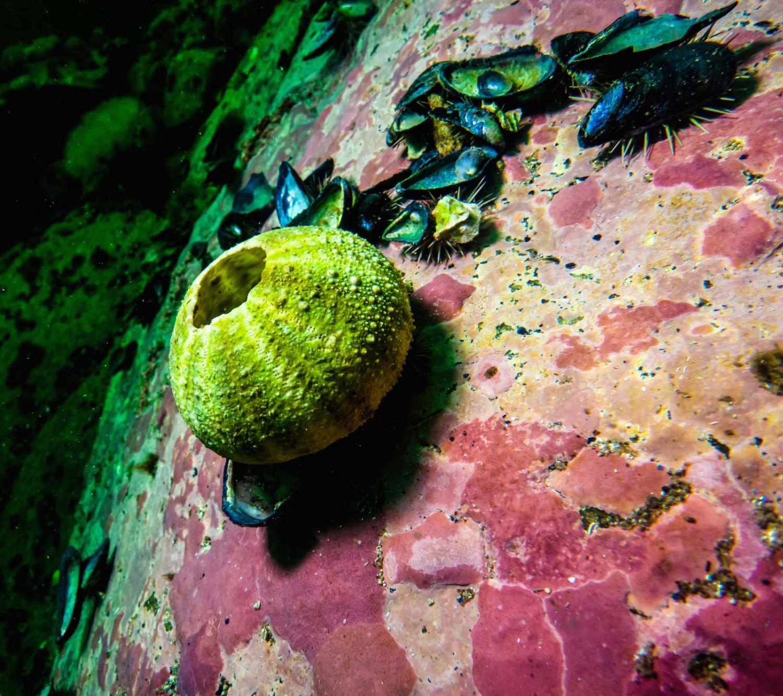 oursin mort