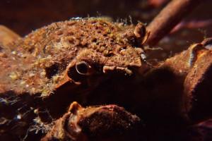 Crabe araignée bc2