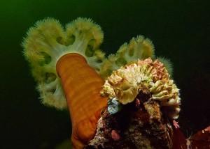 anémone-plumeuse-récif-bc-22-juin
