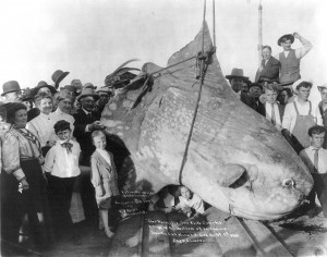 Enormous_Sunfish