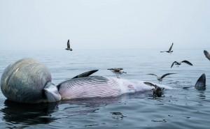 baleine-morte2